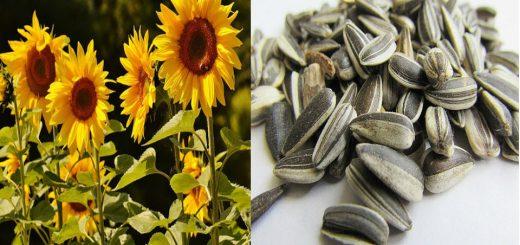 las semillas de girasol